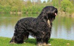 Razas de Perros: perro Cao da Serra de Aires caracteristicas