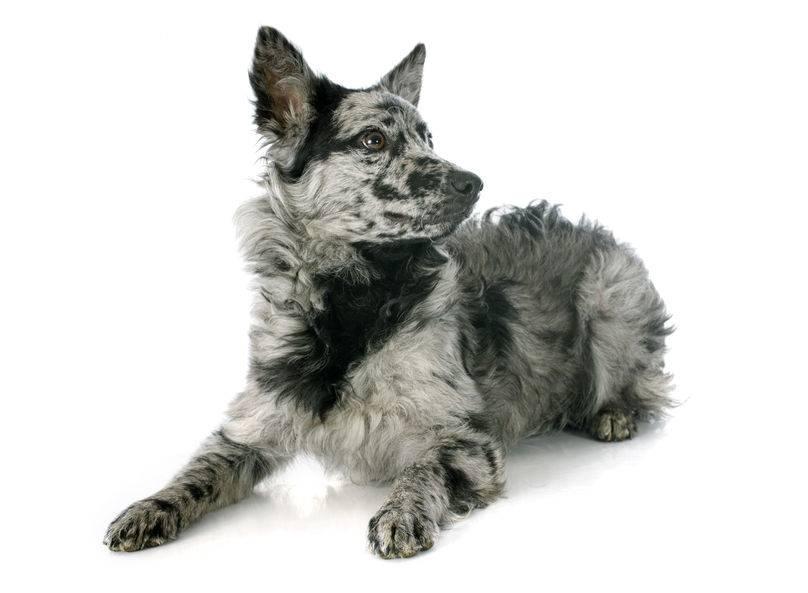 perro Mudi