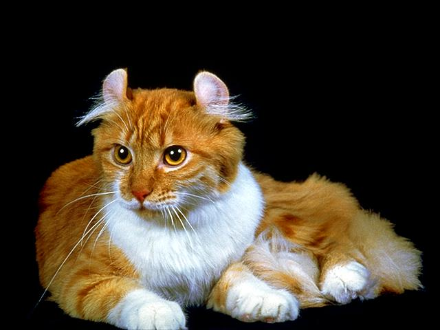 Cat breeds: American Curl Cat Characteristics and Personality