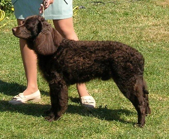Dog breeds: American Water Spaniel dog