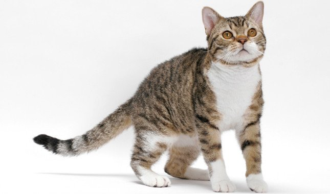 Cat breeds: American Wirehair Cat Characteristics and Personality