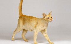 Razas Felinas: El gato Ceylon carácter y características