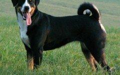 Dog breeds: Appenzeller Sennenhunde Dog