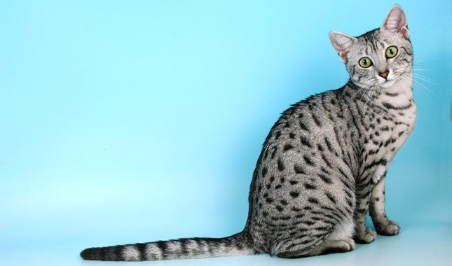 Cat breeds: Arabian Mau Cat Characteristics and Personality