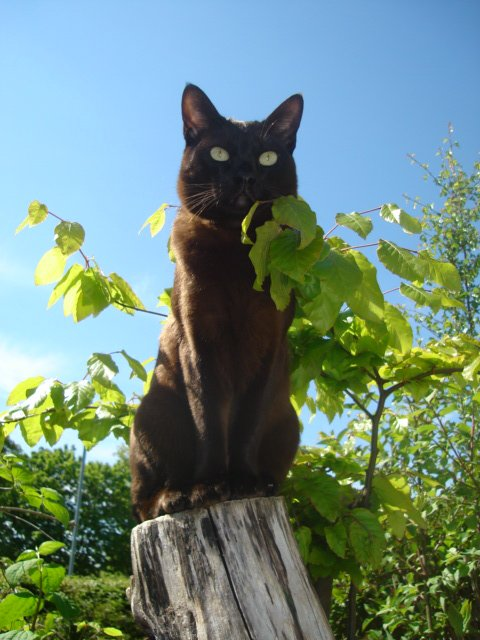 Cat breeds: The Asian Cat Characteristics and Personality ...
