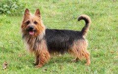 Razas de Perros: perro Terrier Australiano características y cuidados