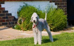 Dog breeds: Bedlington Terrier Dog, Origins and Personality