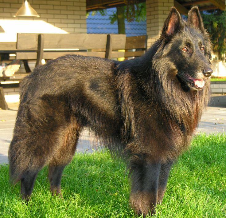 Dog breeds: Belgian Tervuren dog, Origins and Personality