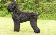 Dog breeds: Black Russian Terrier dog Personality