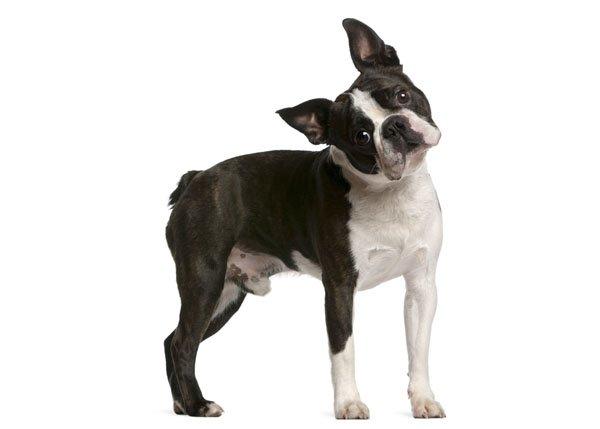 Razas de Perros: perro Boston Terrier características y cuidados