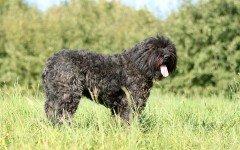 Razas de Perros: Boyero de Flandes características y cuidados