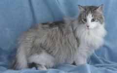 Cat breeds: British Semi-longhair cat, Characteristics