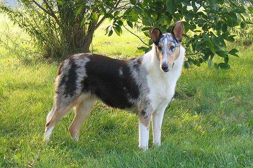 Razas de Perros: perro Collie de Pelo Corto caracteristicas