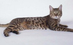 Cat breeds: California Spangled Cat Characteristics, Personality