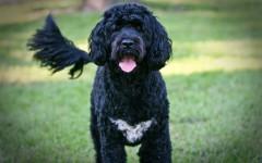 Razas de Perros: perro Cao de Agua Portugues caracteristicas