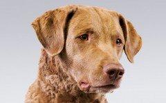 Razas de Perros: Chesapeake Bay Retriever características