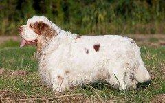 Razas de Perros: perro Clumber Spaniel caracteristicas y cuidados