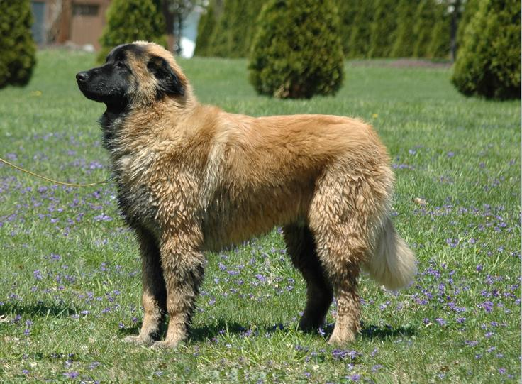 Razas de Perros: perro Cao da Serra da Estrella caracteristicas