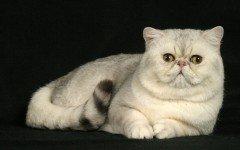 Razas Felinas: Gato exotico de pelo corto carácter