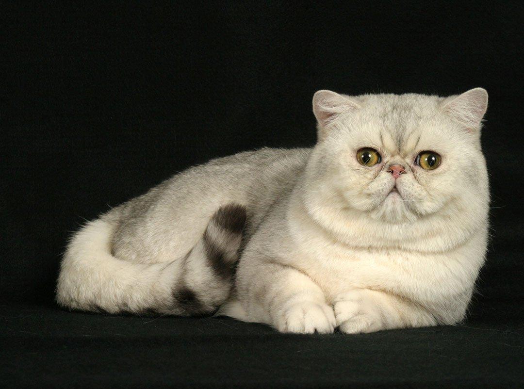 Gato exotico pelo corto caracter