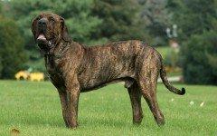 perro Fila brasileño