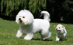 perro Bichon de pelo frisado
