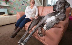 Meet Freddy, the Biggest Dog in the World