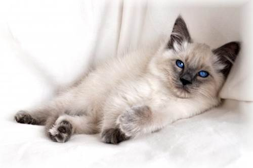 Cat breeds: The Balinese cat Characteristics and Personality