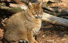 Gato salvaje africano