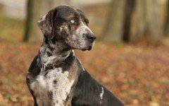 Dog breeds: Catahoula Leopard Dog temperament, personality