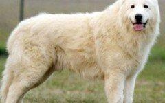 Alimentazione del cane pastore abruzzese