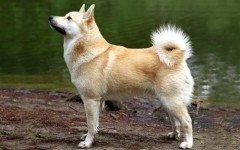 Razas de Perros: Buhund Noruego caracteristicas y cuidados