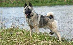 perro Cazador de alces noruego