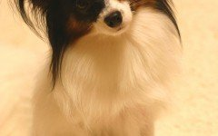 Dog breeds: Papillon dog breed, Characteristics and Personality