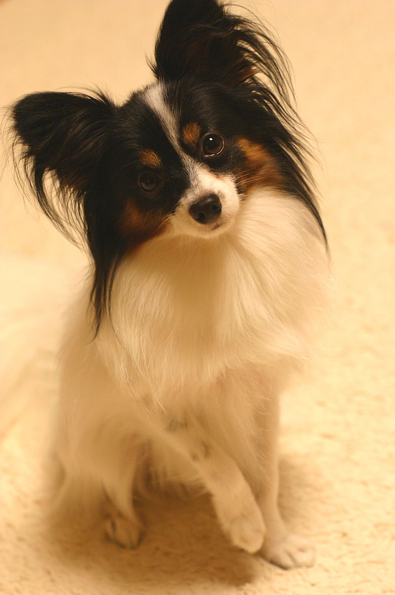 Dog breeds: Papillon dog breed, Characteristics and Personality