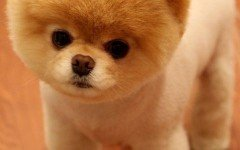 Pomeranian dog temperament and personality
