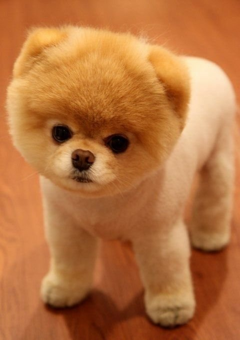 Pomeranian dog temperament and personality