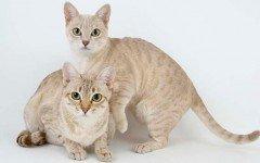 Cat breeds: Australian Mist Cat Characteristics and Personality