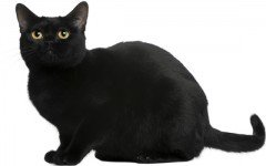 Cat breeds: The Bombay Cat, Characteristics and Personality