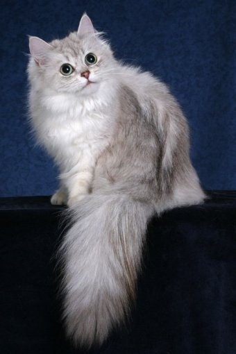Cat breeds: Asian Semi-longhair Cat Origin and Personality