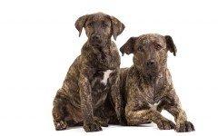 Razas de Perros: perro Cao de Fila de Sao Miguel caracteristicas