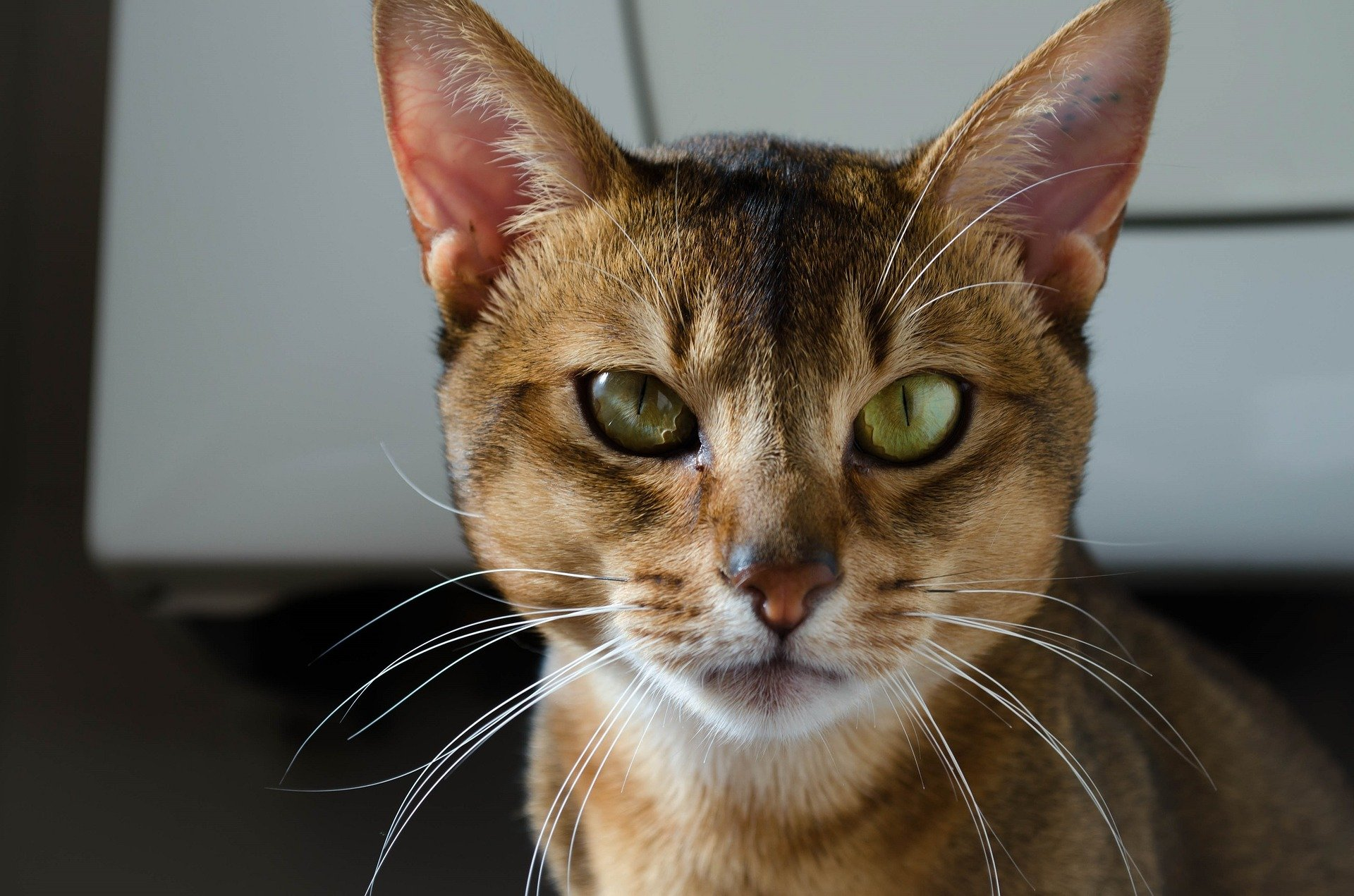 Cat breeds: The Abyssinian Cat Characteristics and Personality