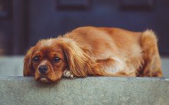 Dog disease: Leishmaniasis in dogs Symptoms and Treatment