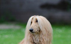 Dog breeds: Afghan Hound Dog temperament and personality