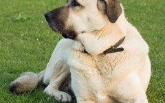 Dog breeds: the Anatolian Shepherd Dog