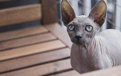 Gatto egiziano senza pelo, tutte le caratteristiche