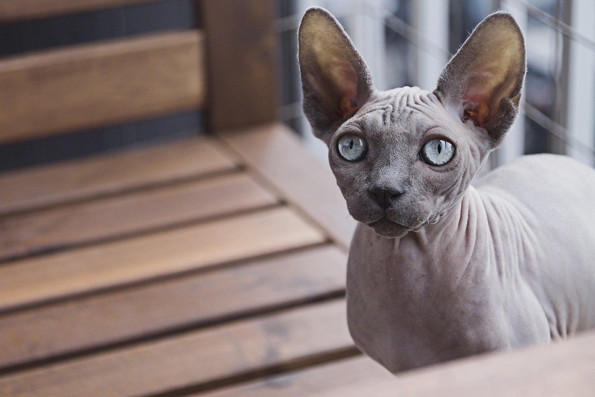 Gatto Egiziano Senza Pelo Tutte Le Caratteristiche Dogalize