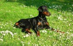 L' alimentazione del cane Dobermann: la dieta ideale