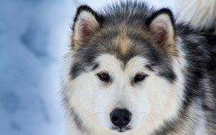 Alimentazione del cane husky: le esigenze alimentari