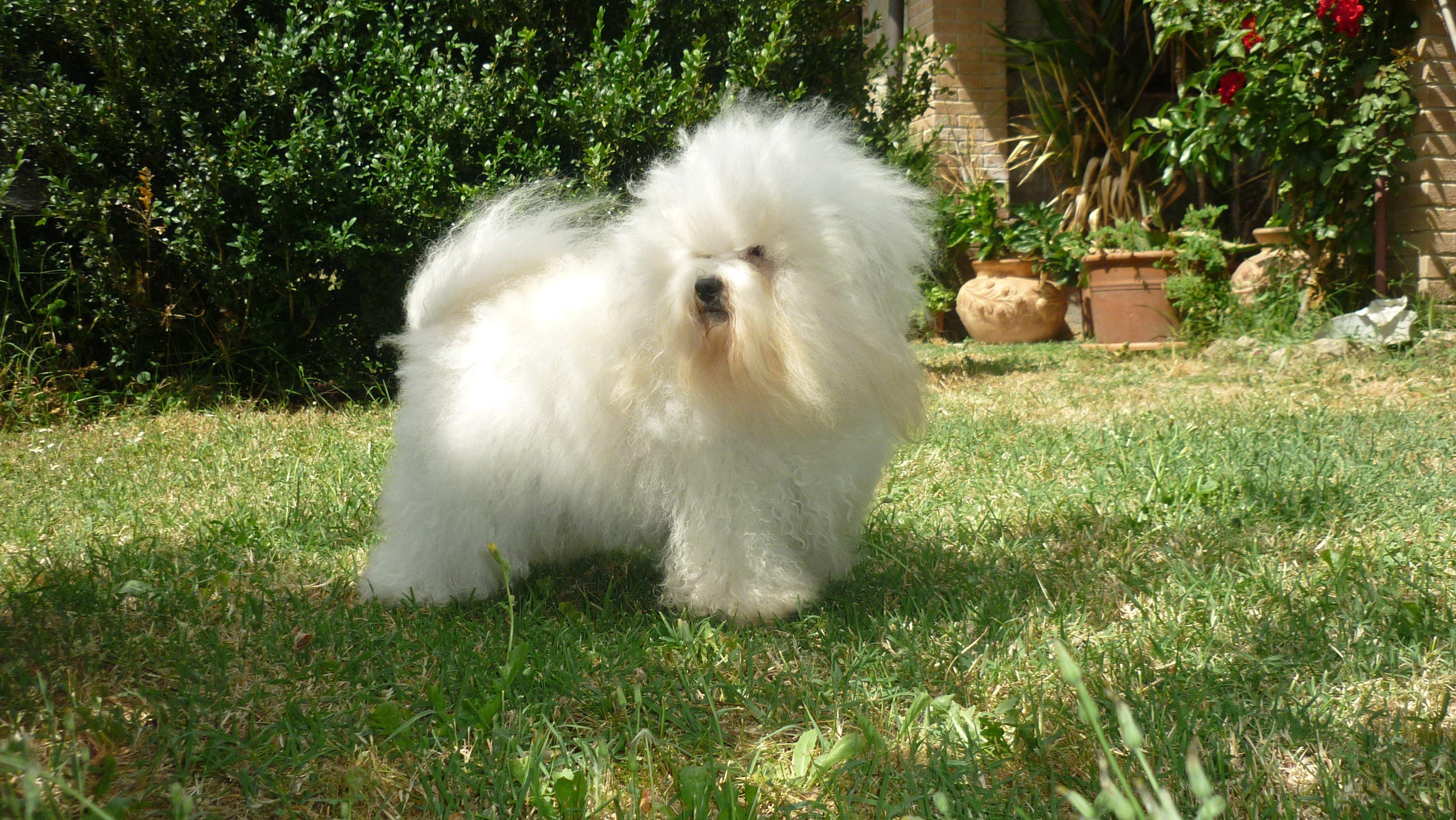 perro Bichon Boloñes